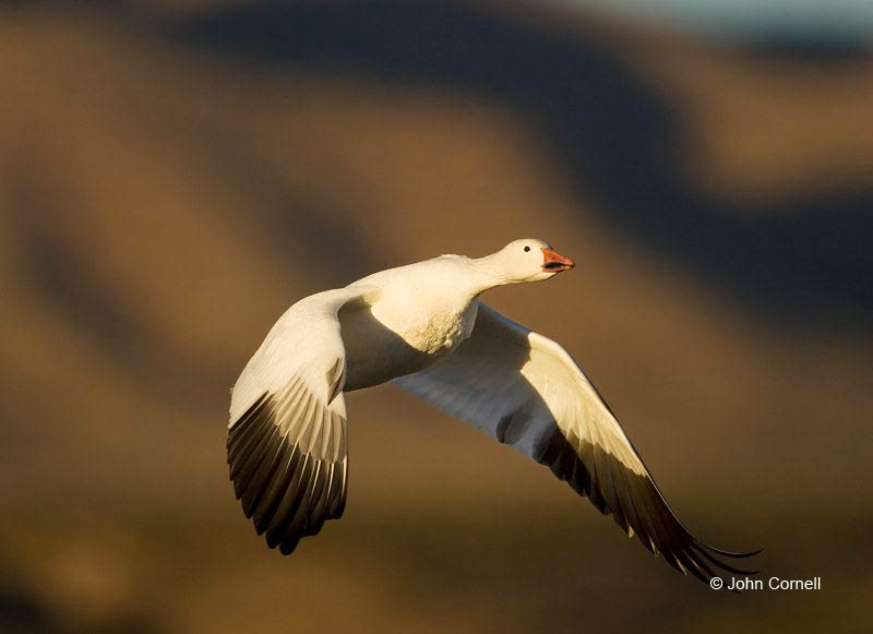 New Mexico;Snow Goose;Goose;Flight;Southwest USA;Chen caerulescens;Flying bird;action;aloft;behavior;flight;fly;flying;soar;wing;winged;wings;one animal;Color Image;Photography;Birds;Animals in the Wild;Action;Active;in flight;motion;movement;soaring;One;avifauna;bird;birds;feather;feathered;outdoors;outside;untamed;wild;color;color photograph;daytime;close up;color image;photography;animals in the wild;feathers;wilderness;perch;perching;watching;watchful;Close up