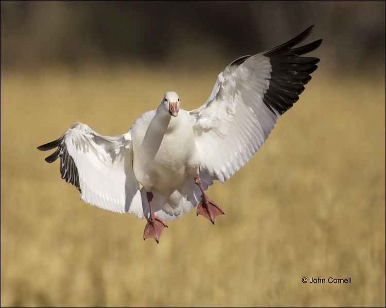 New Mexico;Southwest USA;Snow Goose;Goose;Flight;Chen caerulescens;flying bird;one animal;close-up;color image;nobody;photography;day;outdoors. Wildlife;birds;animals in the wild;flight;outdoors;Wildlife