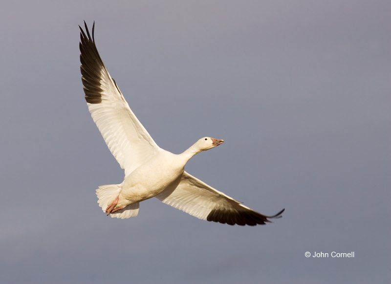 New Mexico;Snow Goose;Goose;Flight;Southwest USA;Chen caerulescens;Flying bird;action;aloft;behavior;flight;fly;flying;soar;wing;winged;wings;one animal;Color Image;Photography;Birds;Animals in the Wild;Action;Active;in flight;motion;movement;soaring;One;avifauna;bird;birds;feather;feathered;outdoors;outside;untamed;wild;color;color photograph;daytime;close up;color image;photography;animals in the wild;feathers;wilderness;watching;watchful;perch;perching;Close up