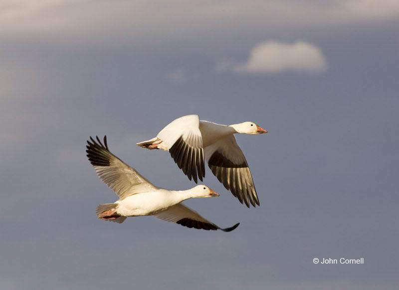 New Mexico;Snow Goose;Goose;Flight;Southwest USA;Chen caerulescens;Flying bird;action;aloft;behavior;flight;fly;flying;soar;wing;winged;wings;two animals;Color Image;Photography;Birds;Animals in the Wild;Action;Active;in flight;motion;movement;soaring;avifauna;bird;birds;feather;feathered;outdoors;outside;untamed;wild;color;color photograph;daytime;close up;color image;photography;animals in the wild;feathers;wilderness;watching;watchful;Close up;Two animals