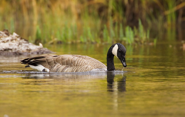 Canada Goose;Goose;Branta canadensis;one animal;close-up;color image;photography;day;outdoors. Wildlife;birds;animals in the wild;avifauna;feathered;feathers;wilderness;perch;perching;watch;Waterfowl;Swimming;Floating;portrait;eye;nature;wild;looking;perched;watchful