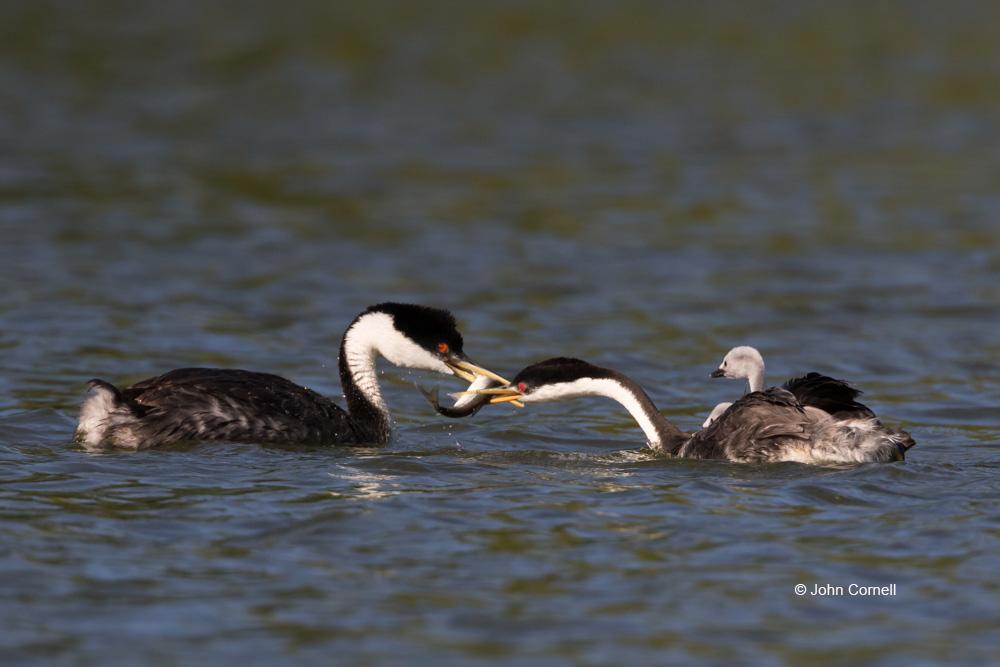 Aechmophorus occidentalis;Feeding Behavior;Grebe;Western Grebe;chicks;feeding;parent;parenting