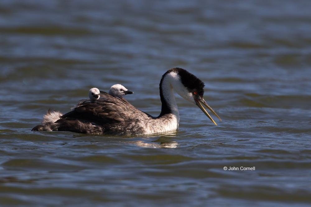 Aechmophorus occidentalis;Grebe;chicks;feeding;nurture;parent;safety