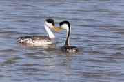 Aechmophorus-clarkii;Breeding-Behavior;Breeding-Plumage;Clarks-Grebe;Clarks-Greb