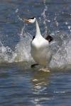 Aechmophorus-clarkii;Clarks-Grebe;Clarks-Grebe;Dancing-bird;Grebe;Running
