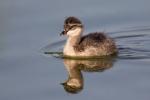 Eared-Grebe;One;Podiceps-nigricollis;avifauna;bird;birds;chick;color-image;color