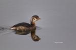 One;Pied-billed-Grebe;Podilymbus-podiceps;Reflection;avifauna;bird;birds;color-i