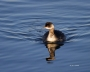 Eared-Grebe;Grebe;Podiceps-nigricollis;one-animal;close_up;color-image;nobody;ph