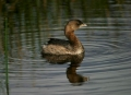 Pied_billed-Grebe;Podilymbus-podiceps;Grebe;One;one-animal;avifauna;bird;birds;f
