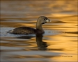 Pied_billed-Grebe;Grebe;Florida;Southeast-USA;Podilymbus-podiceps;One;one-animal