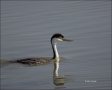 Western-Grebe;Grebe;Aechmophorus-occidentalis;one-animal;close_up;color-image;no