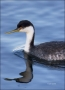 Western-Grebe;Grebe;Aechmophorus-occidentalis;portrait;one-animal;close_up;color