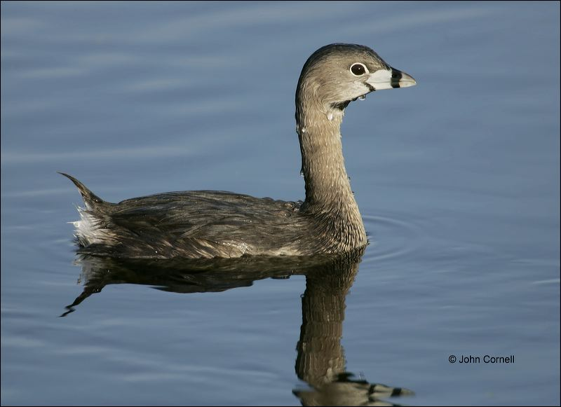 Pied-billed Grebe;Grebe;Florida;one animal;close-up;color image;nobody;photography;day;outdoors. Wildlife;birds;animals in the wild;Podilymbus podiceps;One;avifauna;bird;feather;feathered;outdoors;outside;untamed;wild;color;color photograph;daytime;close up;feathers;wilderness;perch;perching;watching;watchful;Close up