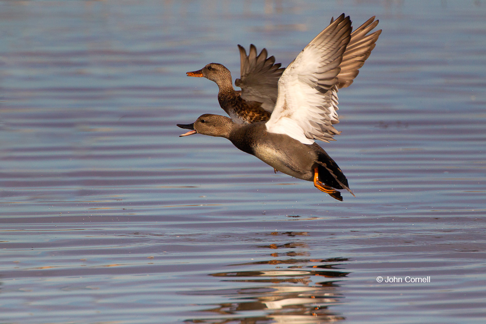 Anas strepera;Flying Bird;Gadwall;Pair;Pair of Birds;Photography;Takeoff;Two animals;Waterfowl;action;active;aloft;behavior;birds;color image;flight;fly;flying;in flight;motion;movement;soar;soaring;wing;winged;wings
