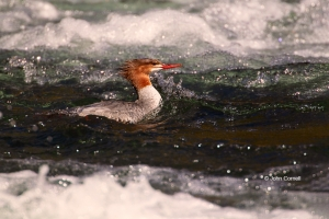 Common-Merganser;Female;Merganser;Mergus-merganser;Yellowstone-National-Park