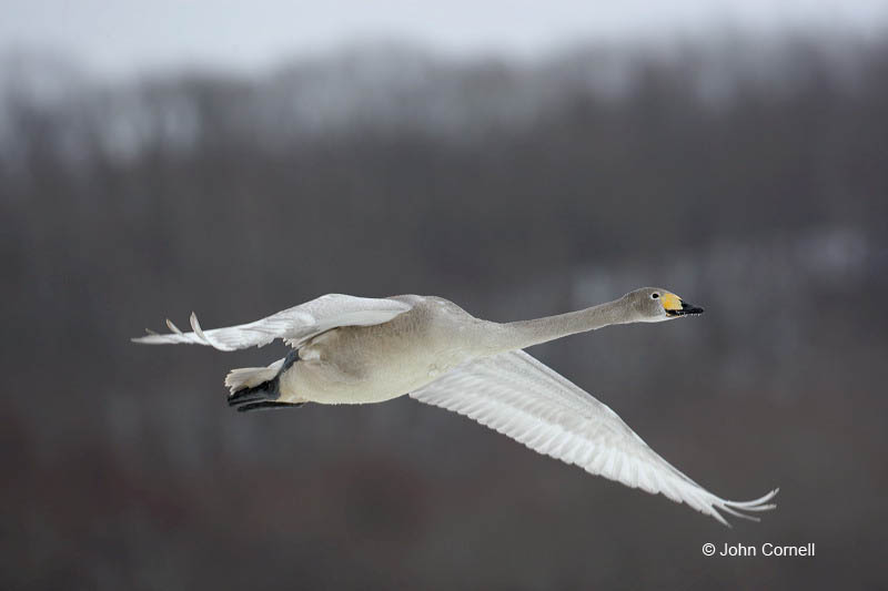 Japan;Whooper Swan;Swan;Olor cygnus;one animal;close-up;color image;photography;day;birds;animals in the wild;avifauna;feathered;feathers;wilderness;perch;perching;watch;Flying bird;One animal;Close-up;Color image;Outdoors;Wildlife;Birds;Animals in the wild;Flight;action;active;aloft;in flight;motion;movement;soar;soaring;winged;wings;behavior;watchful;outdoors;Close up;close up