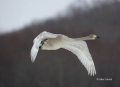 Japan;Whooper-Swan;Swan;Olor-cygnus;one-animal;close_up;color-image;photography;