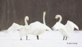 Japan;Whooper-Swan;Swan;Olor-cygnus;one-animal;close-up;color-image;photography;