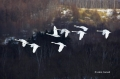 Japan;Whooper-Swan;Swan;Olor-cygnus;Flying-Birds;Flock;Close-up;Color-image;phot