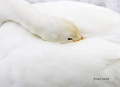 Whooper-Swan;Swan;Olor-cygnus;Sleeping;one-animal;close-up;color-image;photograp