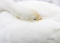 Whooper-Swan;Swan;Olor-cygnus;Sleeping;one-animal;close_up;color-image;photograp