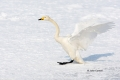 Flying-Bird;Hokkaido;Japan;Olor-cygnus;Swan;Waterfowl;Whooper-Swan;action;active