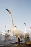 Japan;Olor-cygnus;Snow;Swan;Waterfowl;Whooper-Swan;avifauna;bird;birds;color-ima