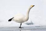 Japan;Olor-cygnus;One;Snow;Swan;Waterfowl;Whooper-Swan;avifauna;bird;birds;color
