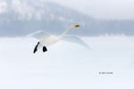Japan;Olor-cygnus;Swan;Waterfowl;Whooper-Swan