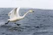 Japan;Olor-cygnus;Swan;Waterfowl;Whooper-Swan;Flying-Bird;action;active;aerodyna