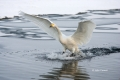 Flying-Bird;Hokkaido;Japan;Olor-cygnus;Swan;Waterfowl;Whooper-Swan;action;active