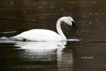 Cygnus-buccinator;One;Swan;Trumpeter-Swan;Yellowstone-National-Park;avifauna;bir