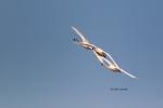 Cygnus-columbianus;Flying-Bird;Photography;Tundra-Swan;action;active;aloft;behav