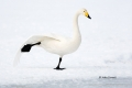 Japan;Olor-cygnus;One;Swan;Waterfowl;Whooper-Swan;avifauna;bird;birds;color-imag
