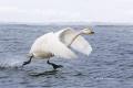 Whooper-Swan;Swan;Olor-cygnus;Japan;Waterfowl;One;avifauna;bird;birds;feather;fe
