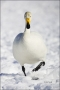 Whooper-Swan;Swan;Olor-cygnus;one-animal;close-up;color-image;nobody;photography