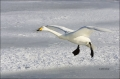 Whooper-Swan;Swan;Flight;Olor-cygnus;flying-bird;one-animal;close-up;color-image