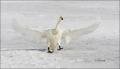 Whooper-Swan;Swan;Flight;Olor-cygnus