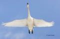 Whooper-Swan;Swan;Olor-cygnus;Japan;Flying-bird;action;aloft;behavior;flight;fly
