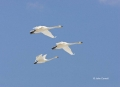 Whooper-Swan;Swan;Olor-cygnus;Japan;Flying-bird;action;aloft;behavior;flight;fly