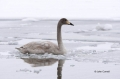 Swan;Olor-cygnus;Whooper-Swan;One;one-animal;avifauna;bird;birds;feather;feather