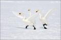 Whooper-Swan;Swan;Olor-cygnus;Japan;Waterfowl;avifauna;bird;birds;feather;feathe