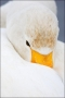 Japan;Whooper-Swan;Swan;Olor-cygnus;Waterfowl;One;avifauna;bird;birds;feather;fe