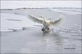 Japan;Whooper-Swan;Swan;Olor-cygnus;Waterfowl;Flying-Bird;action;active;aerodyna