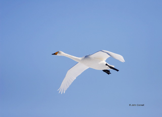 Whooper Swan;Swan;Flight;Olor cygnus;portrait;one animal;close-up;color image;nobody;photography;day;birds;animals in the wild;avifauna;feathered;feathers;wilderness;perch;perching;watch;Flying bird;One animal;Close-up;Color image;Outdoors;Wildlife;Birds;Animals in the wild;action;active;aloft;in flight;motion;movement;soar;soaring;winged;wings;behavior;watchful;outdoors;Close up;close up
