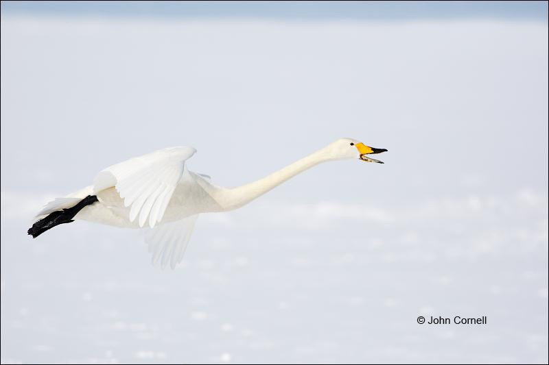 Whooper Swan;Swan;Olor cygnus;Japan;Waterfowl;Flying Bird;action;active;aerodynamic;behavior;flight;flying;glide;gliding;in flight;soar;soaring;wing;winged;wings;color photograph;color image;Hokkaido