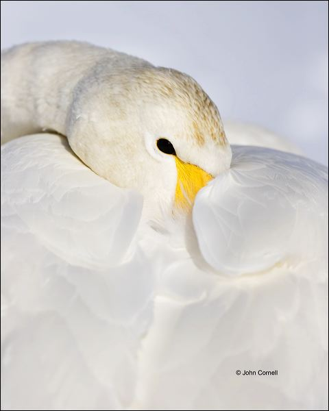 Whooper Swan;Swan;Olor cygnus;portrait;one animal;close-up;color image;nobody;photography;day;outdoors. Wildlife;birds;animals in the wild;watchful