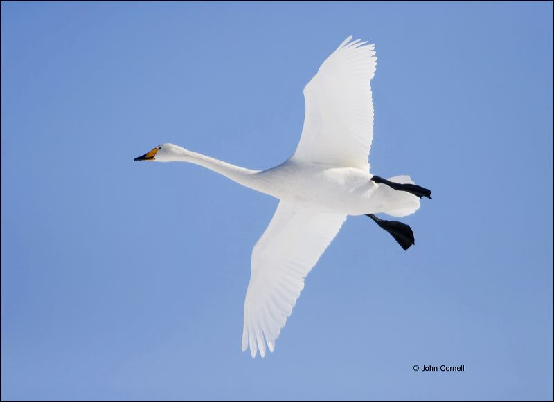 Whooper Swan;Swan;Flight;Olor cygnus;flying bird;one animal;close-up;color image;nobody;photography;day;outdoors. Wildlife;birds;animals in the wild;flight