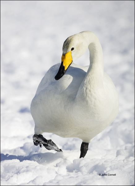 Whooper Swan;Swan;Olor cygnus;one animal;close-up;color image;nobody;photography;day;outdoors. Wildlife;birds;animals in the wild