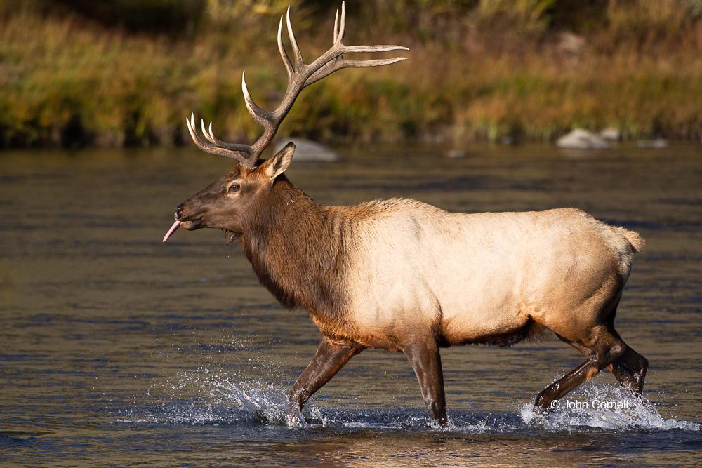 Breeding Behavior;Breeding Season Bull;Cervus canadensis;Elk;Madison River;Madison River Valley;Male;Rut;Yellowstone National Park;mating season;one animal;one animal in the wild;water